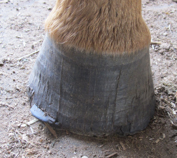 The lack of a proper diet can cause hooves to suffer.