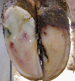 Thin soles make claws more prone to lameness, abscess or other injuries. To optimize milk production, maintain healthy cow claws.