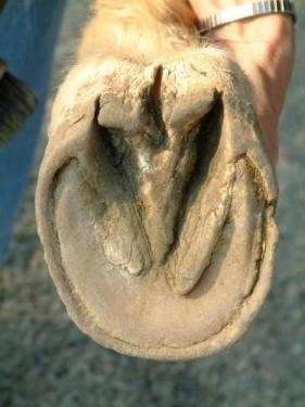 Equine feet must maintain proper hoof hydration.
